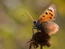 Small copper butterfly by Slinky-2012