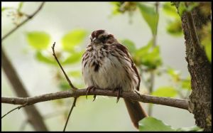 Song Sparrow by darthpayback