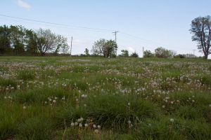 Fields of Dandelions by SarahCB1208