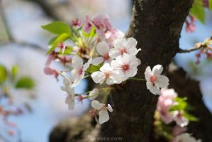 Cherry are in full blossom3 by ganessa