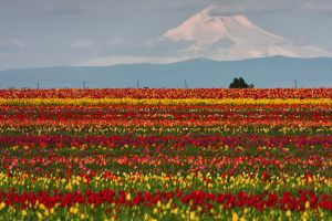 Mount Hood and Tulip fields by pyro303