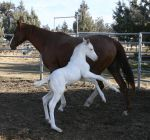 white foal by confed4life