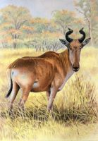 Lichtenstein's Hartebeest by WillemSvdMerwe