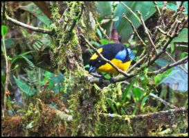 Blue-winged Mountain Tanager by StormPetral0509
