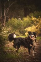 Bungle the Border Collie by DeniseBayles