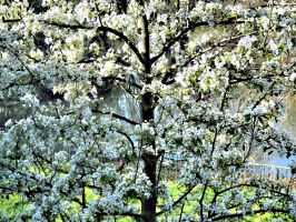 Blossom today Pears later by Rozrr