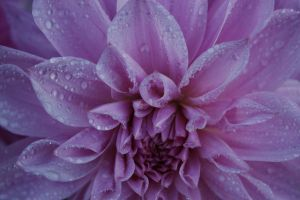 wet pink flower 3 by shadowflame2010