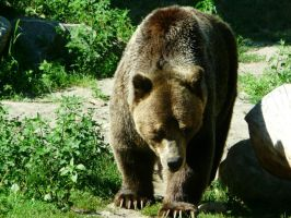 Grizzly Bear 19 by Unseelie-Stock
