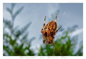 Spider - 005 by laurentroy