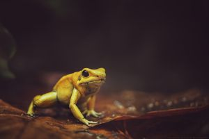 Poison Arrow Frog by CliffWFotografie