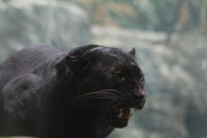 Black Leopard Stock 4: Snarl by HOTNStock
