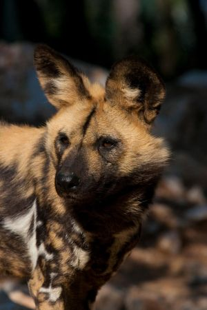African Wild Dog IV_stock img by sekhmet-stock