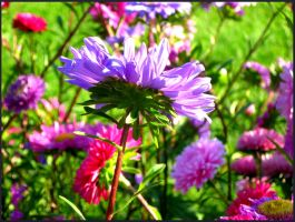 Asters at the end of Summer by Foxytocin