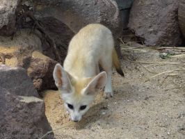 Fennec Fox Kit Sniffing the Ground by Mouselemur