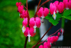 Bleeding Hearts by imonline