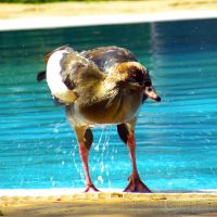 A Duck in my pool by WhiteBook