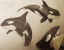 Killer Whale Drawings by hollywood714