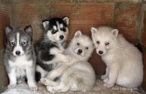 Huskies by AHenriques