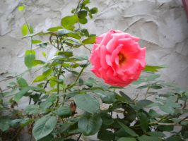 Wild Rose by WeepingPiano