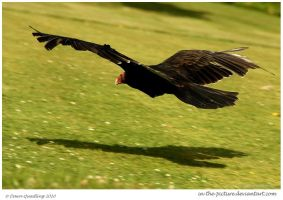 Flying Turkey Vulture by In-the-picture