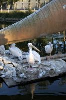 Zoo Pelicans stock #3 by croicroga