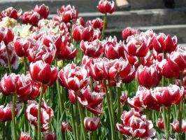 Red tulips by Shugarl