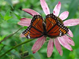 Viceroy Butterfly by NycterisA