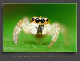 jumping spider 2 by dhead