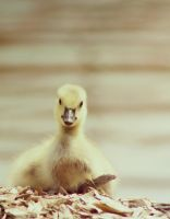 The little Gosling by ToryHartley