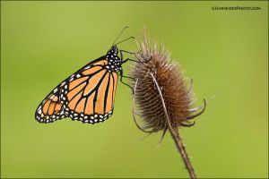 Monarch butterfly by gregster09