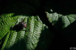 Common Flesh Fly by case15