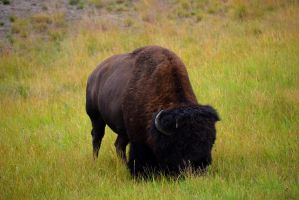 Lone Bison in Yellowstone Park by Rela1985