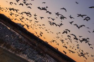 Snow Geese by ruffian11