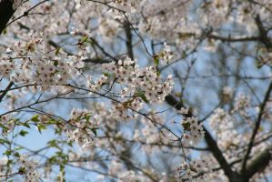 Cherry Blossoms:.3 by Amor-Fati-Stock