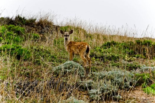 Point Reyes - Deer 2 by xdgrace