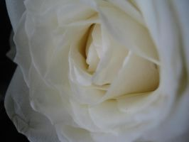 pretty rose.. by msMIM