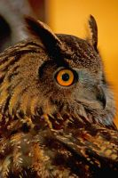Eagle Owl Close Up Profile by Kippenwolf