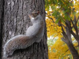 Grey Squirrel by Astropteryx