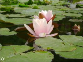 Water Lilies by saniday