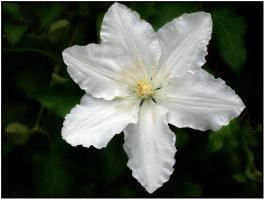 WHITE CLEMATIS by THOM-B-FOTO