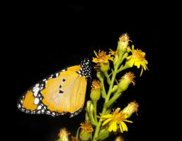Plain Tiger at night by Faunamelitensis