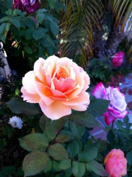 Peach Colored Flower by LoadingArtist