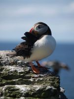 Solitary Puffin by njt-rasta