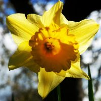 Daffodilly Square by EarthHart