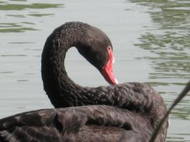 S Black Swan by crazygirlclub