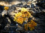 Lichens in the Sun by DuchesseOfDusk