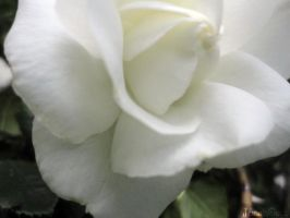 White Rose by JennaIsGhost