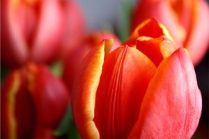 Tulips by roxmohr