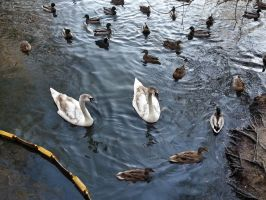 6 Month Old Cygnets by Rozrr