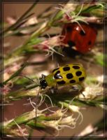 Cucumber Beetle 40D0030251 by Cristian-M